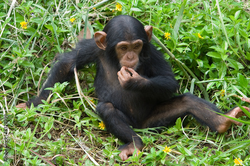 Foto op Canvas Aap Young chimpanzee
