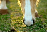 Horses nose sniffing out the grass