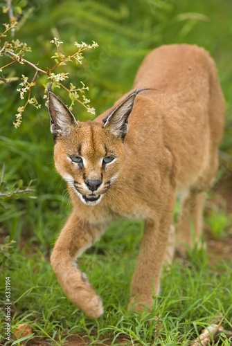 The Caracal is a very efficient Predator