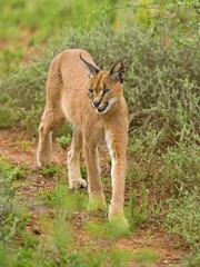 The Caracal is a stealthy Hunter