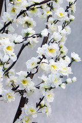Branches with white flowers of an oriental cherry