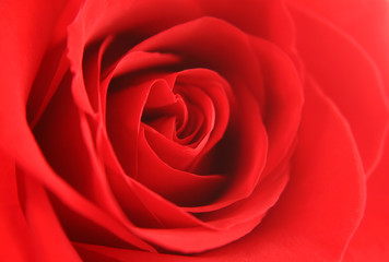 Red rose background texture