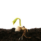 Germinează seminţele de fasole