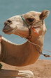 Portrait of a dromedary
