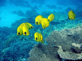 Masked butterfly fishes