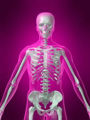 menschliches skelett vorderansicht