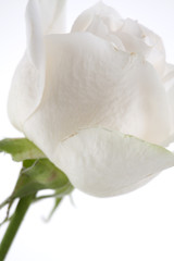 White Rose Profile