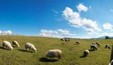 Sheep herd on mountain plateau pasture (Carpathian , Ukraine).  poster