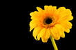 Photo of simple yellow flower on a black background
