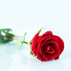 Closeup of wonderful red rose lying on white surface