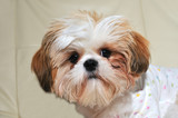 Six month old Shih Tzu with expressive eyes. poster