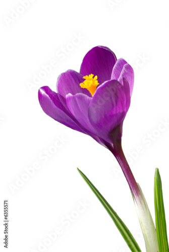 Signs of Spring - Magenta Crocus - white background