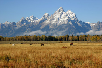 Many horses grazing below the Grand Tetons