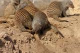 meerkats fighting in captivity poster