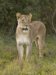 A young Lioness on the Hunt in early morning