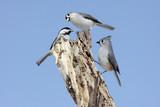 Three Birds On A Stump poster