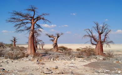 Baobab Trees on Kubu Island