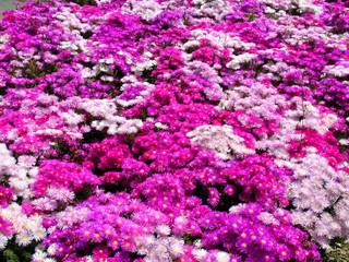 prato di fiori in vivaio 3