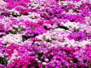 prato di fiori in vivaio 2