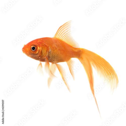 Poisson rouge a voile de johann35micronature photo libre for Tarif poisson rouge