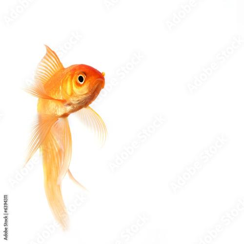 Poisson rouge de johann35micronature photo libre de for Tarif poisson rouge