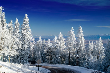 Pine Trees In Snow with Blue Sky
