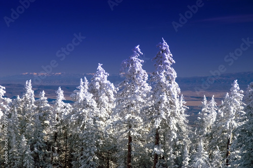 Sandia Mountain Pine Trees in Winter