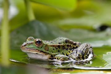 Frosch auf Seerosenblatt