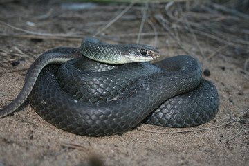 Blue Racer (Coluber constrictor foxii)