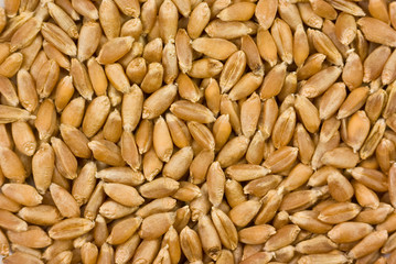 Cereals and grains: barley