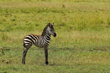 Baby zebra standing alone in middle of green field - 6426711