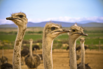Ostrichs in the Karoo Desert