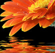 orange gerbera daisy on the black background with reflection
