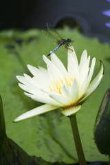 water lily and dragon fly