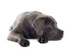 cane corso mastiff puppy dog isolated on a white background poster