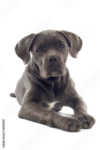 cane corso mastiff puppy dog isolated on a white background