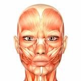 Fototapety Human Anatomy - Face