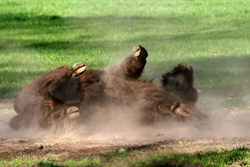 Wallowing young bison on the green grass