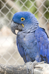 Hyacinth Blue Wing Macawin his cage in the Zoo; close up.