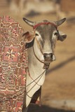 Prize Cow at the Nagaur Cattle Fair, Rajasthan, India poster