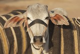 Bullock for Sale at the Nagaur Cattle Fair, Rajasthan, India poster