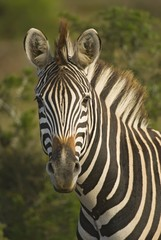 Zebra are fearless animals ,yet very curious