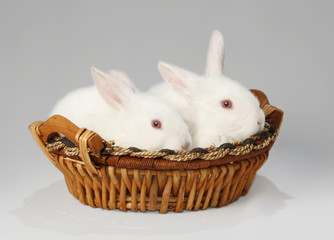albino, twins, rabbit