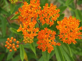 Butterfly Weed or Orange Milkweed (Asclepias tuberosa) in NC