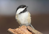 Black-capped Chickadee On A Stump poster