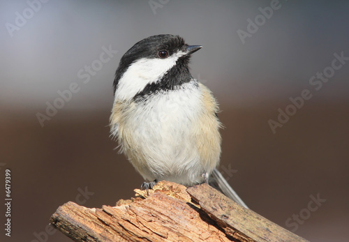 Black-capped Chickadee On A Stump