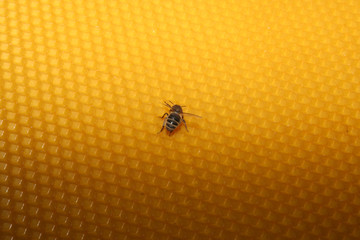 bee sitting on wax sheet, gradient light