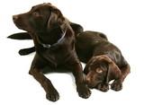 Two Chocolate Labrador Retriever Brothers poster