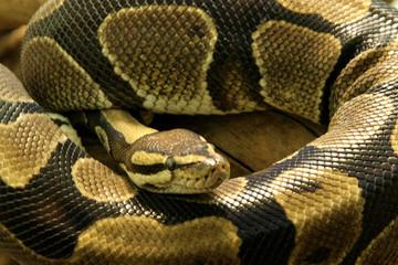 Python de près