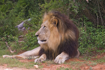 Lions strike fear in any person